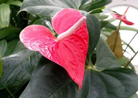 Anthurium andraeanum – Flamingo