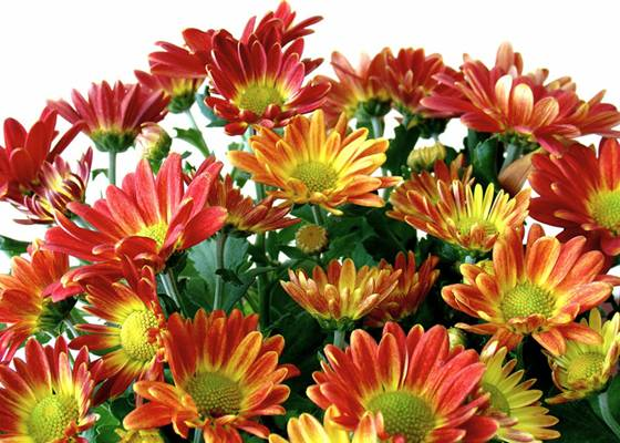 Chrysanthemum – Crizantema