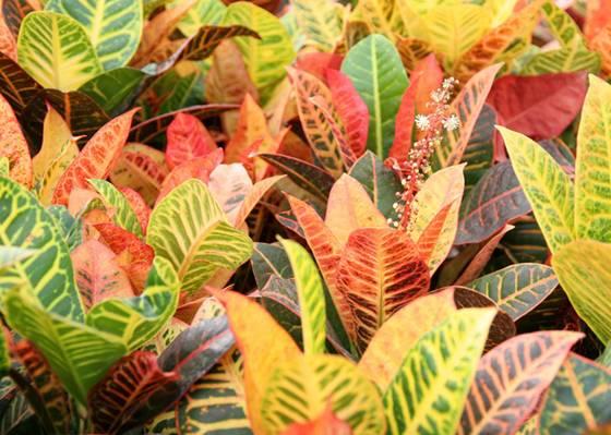 Комнатные цветы с разноцветными листьями с
