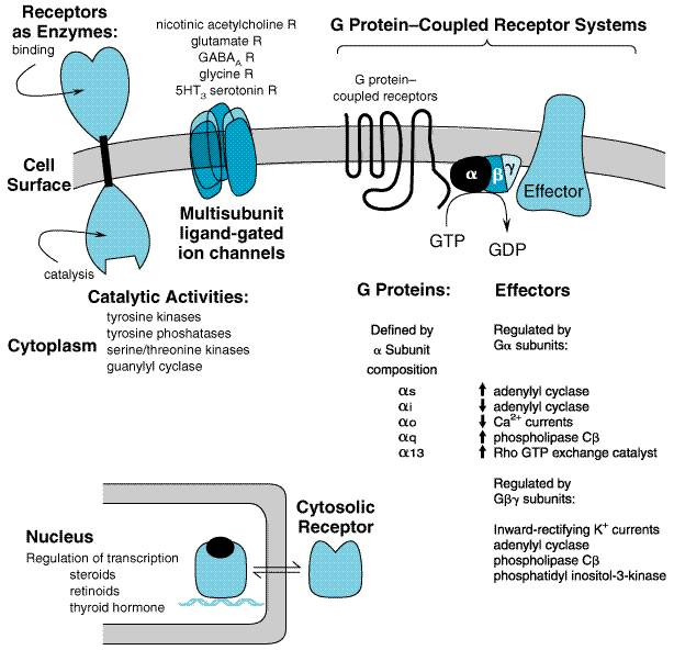 pharmacokinetics the dynamics of drug absorption