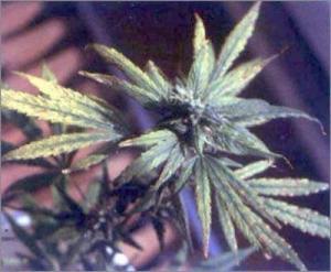 va ajuta marijuana să piardă în greutate)